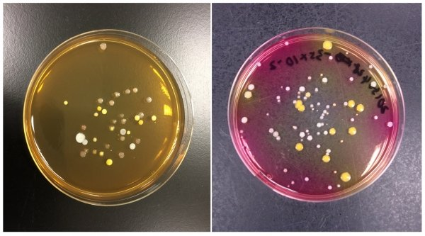 Airborne bacteria collected from an air-cooling unit using (left) a Tryptone soya agar plate adopted by the current Indoor Air Quality inspection; (right) Bacteria cultured on Mannitol salt agar as suggested by the HKBU team, hinting the presence of odour-causing bacteria (Staphylococcus sp.)