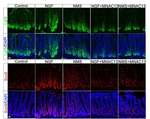 Early life stress and NGF promotes gut stem cells to grow and divide