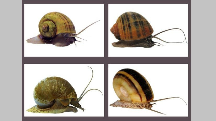 Genomic research led by HKBU unravels mystery of invasive apple snails