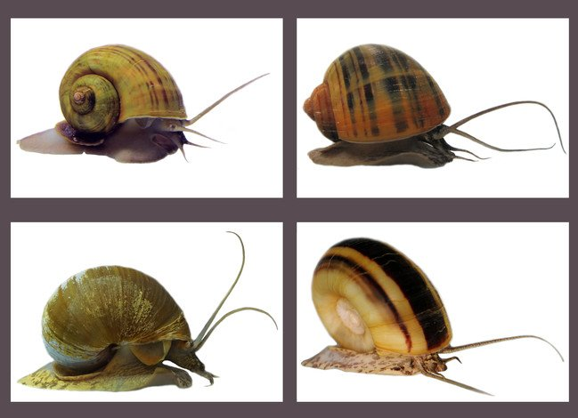 The four apple snail species featured in the study: (clockwise from top left) Pomacea canaliculata, Pomacea maculata, Lanistes nyassanus and Marisa cornuarietis.