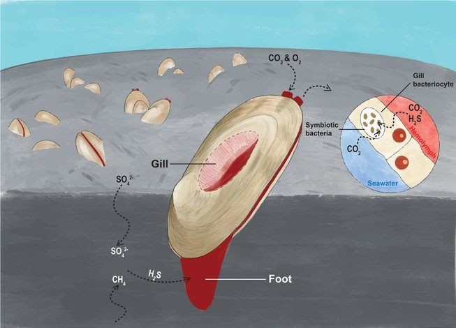 The drawing shows a clam with its foot extending deep into the sediment to gain access to hydrogen sulfide. The foot and mantle of the clam are red due to the presence of haemoglobin for gas transport in the blood, which is an adaptation to the low-oxygen environment. (Drawn by HKBU student Hu Juntong)