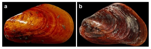 "(Left) Shell of the deep-sea mussel ""Bathymodiolus platifrons"" and (right) shallow-water mussel ""Modiolus philippinarum""."